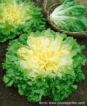 Цикорий салатный - розетка