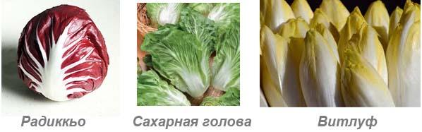 Цикорий салатный - разновидности