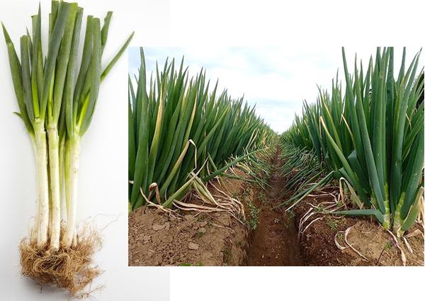 Выращивание лука-батуна по типу лука-порея