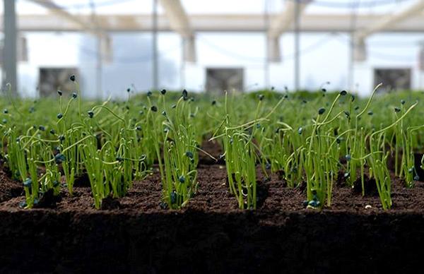 Выращивание лука-батуна из семян через рассаду