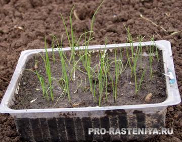 Лук-слизун, фото, выращивание и полезные свойства