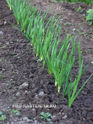 Лук-слизун, выращивание из семян, посадка и уход