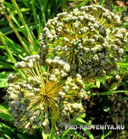 Лук-слизун, полезные свойства, выращивание, посадка и уход, размножение