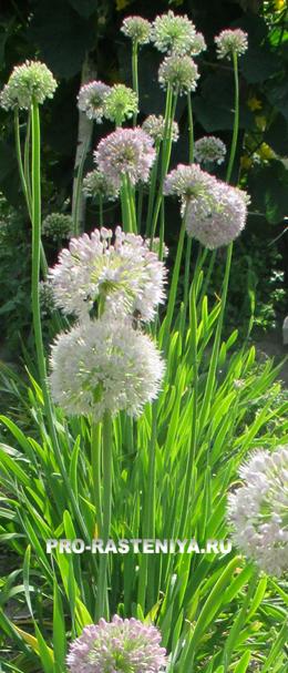 Лук-слизун, выращивание из семян, фото
