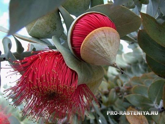 Дендрарий в Сочи: цветение эвкалипта