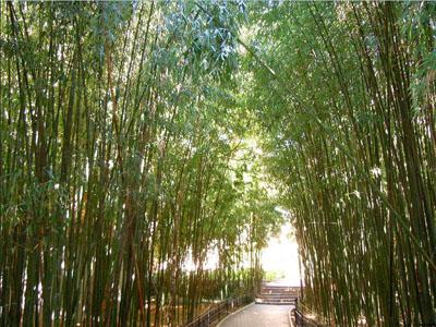 Никитский сад - бамбуковая роща