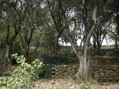 Оливковая роща в Никитском ботаническом саду
