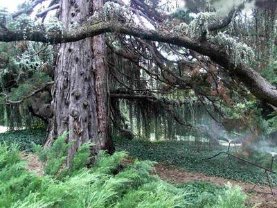 Секвойядендрон, или мамонтово дерево, в Никитском ботаническом саду