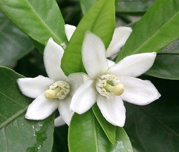 Комнатный мандарин Уншиу, цветы