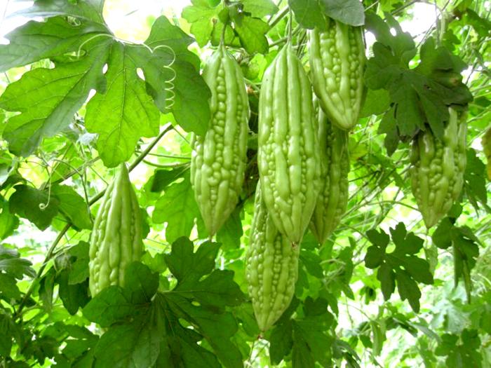 Экзотическое растение момордика