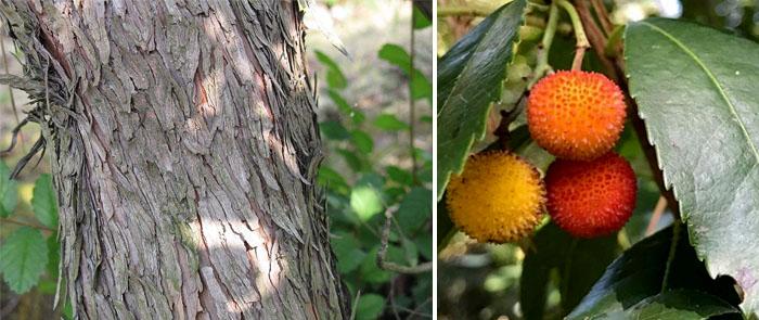 Земляничное дерево фото описание