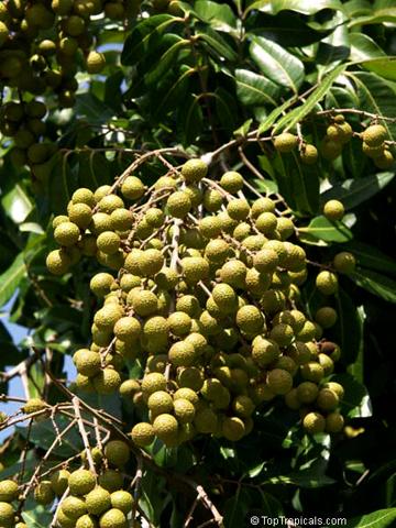 Удивительное растение лонган, или глаза дракона