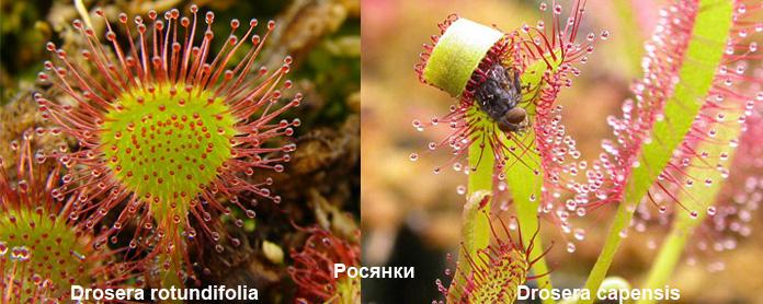 Плотоядные растения - росянка