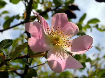 Роза собачья - шиповник обыкновенный