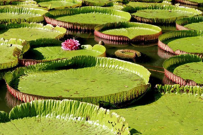 Виктория амазонская - самая большая кувшинка в мире