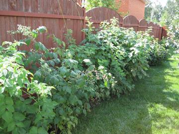 Посадка и выращивание ежевики