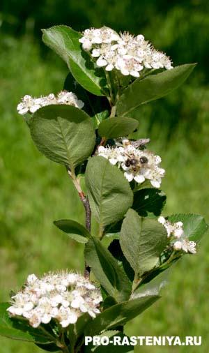 Посадка и выращивание черноплодной рябины