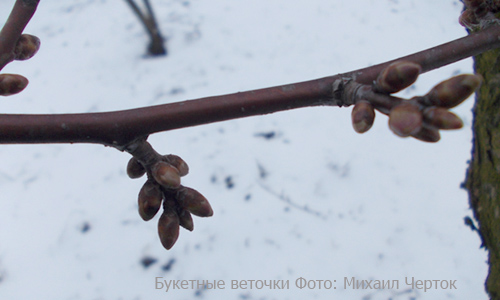 Букетные веточки у древовидной вишни