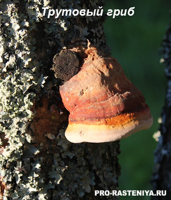 Трутовый гриб