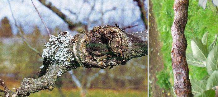 Обыкновенный рак яблони