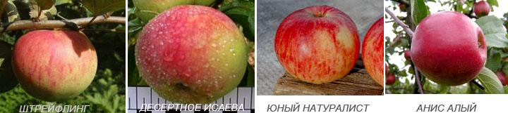 Яблуні для Підмосков'я сорту