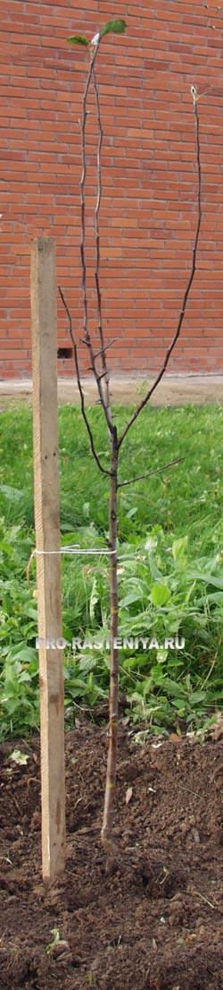Уход за яблоней - посадка саженца