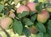 Сорта яблони для Подмосковья