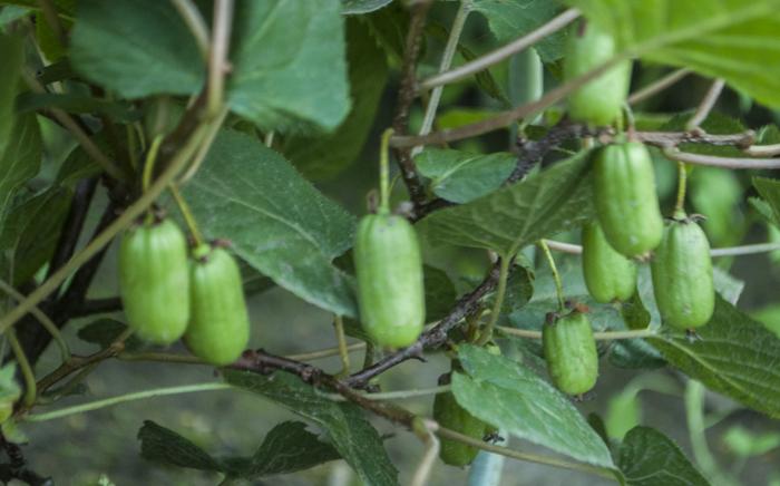 Выращивание актинидии: посадка и уход