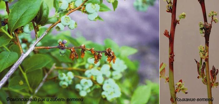 Болезни голубики грибковые - рак побегов, усыхание ветвей
