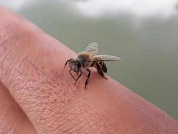 Укусила оса или пчела, что делать?